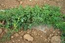 Momentos de desarrollo del cultivo de Sandías