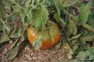 Tomates cultivos