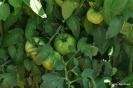 Tomates en Honrubia
