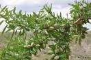 Frutos del Almendro