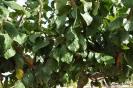 Ciruelo en Botánico de AB