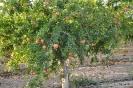 Campo de Cultivo de Granado