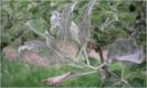 Oidio del manzano