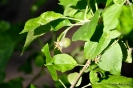 Manzano Golden Delicius_12