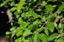 Manzano Golden Delicius_2