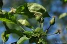 Manzano Golden Delicius_5