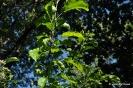 Manzano Golden Delicius_7