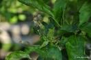 Manzano Golden Delicius_8