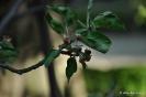 Manzanos Verde Doncella