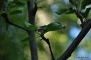 Manzano Verde Doncella_3