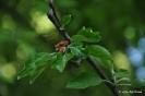 Manzano Verde Doncella_6