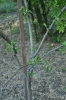 Manzano Verde Doncella_7
