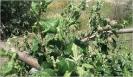 Pulgón ceniciento del manzano