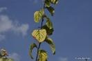 Membrillo en Botánico de CLM