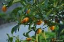 Naranjo Conquat