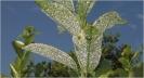 Mosca blanca algodonosa