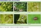 Pulgón verde