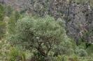 Olivos de ruta Bogarra Ayna