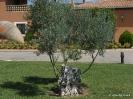Olivos en Finca Los Aljibes