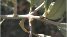 Barrenillo del olivo 1