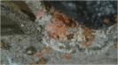 Cochinilla de la tizne, caparreta 1
