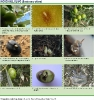 Mosca del olivo 2