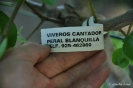Peral Blanquilla_1