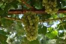 Uvas de mesa