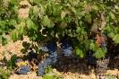 Uvas de vid para vino