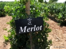 Merlot_1