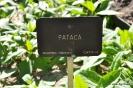 Pataca Plantas