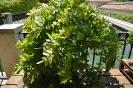 Bonsai Glicinia