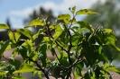 Bonsái Prunus Mume