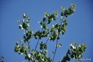 Árbol del Amor - Cercis Siliquastrum