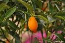 Citrus Japónica