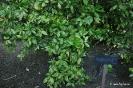 Crotonifolia aucuba japonica