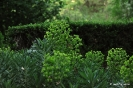 Euphorbia characias wulfenm