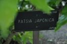 Fatsia japonica