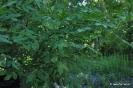 Fresno de olor Fraxinus ornus