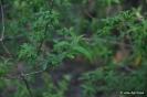 Hierba Luisa - Aloysia triphylla