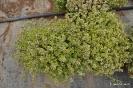 Tomillo - Thymus vulgaris