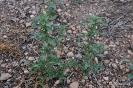 Bledo - Amarantus Blitoides