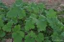Cadillos - Xanthium strumarium L