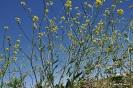 Jaramagos Amarillos - Sinapis arvensis